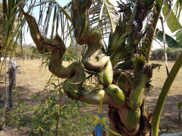 ฮือฮาต้นมะพร้าวแปลก